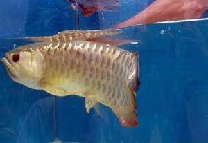 Imagen del pez Arowama